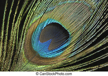 Peacock Feather - Photo of a Colorful Peacock Feather -...