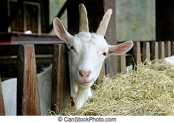 Curious Goat - Goat looking into the camera with a...