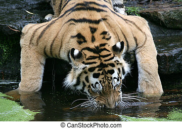 Tiger - Siberian tiger in a zoo