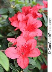 Azalea rhododendron - Blooming flowers - Azalea rhododendron...