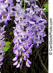 Wisteria Vine - Beautiful lavender bloom of a wisteria vine