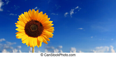 big flower - sun flower against blue sky