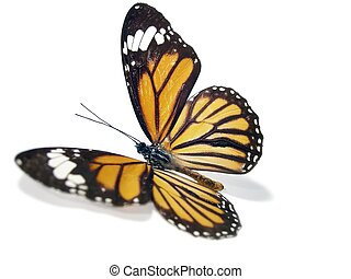 Butterfly Monarch - Pretty butterfly Monarch over a white...