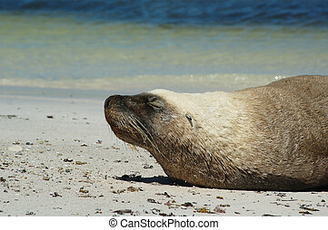Sunbaking - Australian sealion sunning himself on beach of...