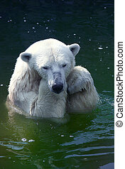 Polar bear  - Sad polar bear in water