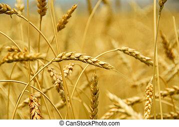 Grain field - Grain ready for harvest growing in a farm...
