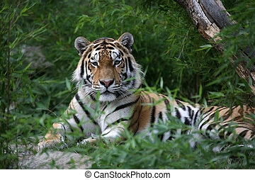 Amurtiger - Siberian tiger in a zoo