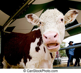 Laughing Cow - Cow With Funny Expression