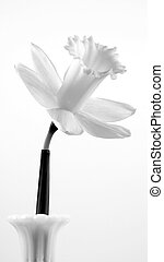 Daff - A black and white shot of a doffodil in a vase.