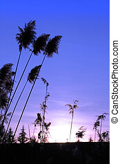 Sun Set - Sun set and long grass with blue sky back ground