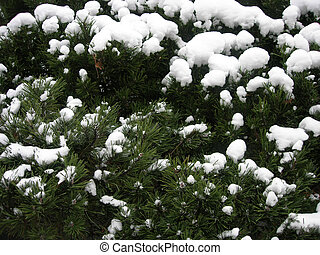 Fir-needle under snow - Green pine tree branches covered by...