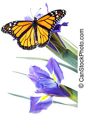 Buttefly on flowers - Monarch butterfly on blue flowers with...