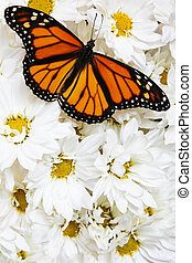 Butterfly on Flowers - Monarch butterfly on mass of white...