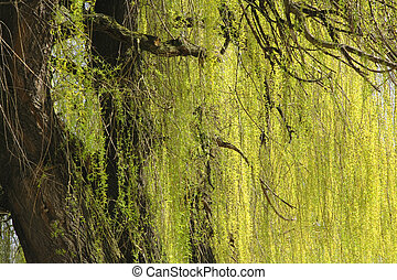 Abstract willow texture - Detail of a dropping willow...