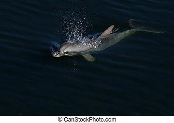 Dolphin - A Dolphin surfacing for air
