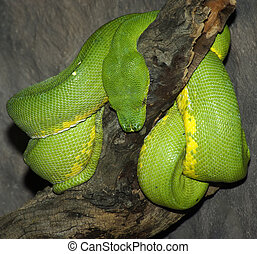 Green Tree Python. - A Green Tree Python coiled over a...