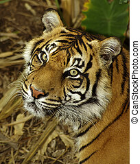 Sumatran Tigress. - Sumatran Tigress, looking over her...
