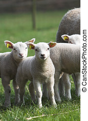Curious lambs - Cute little lambs standing together in the...