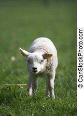 Cute little lamb looking curiously standing all alone in the...