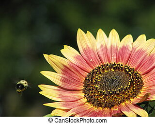 Bee and Sunflower - Honey bee flies to sunflower to collect...