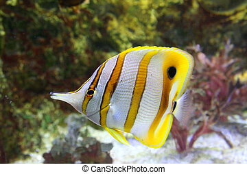 butterfly-fish -