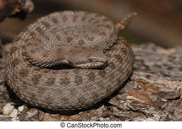 Twin-spotted rattler - The rare and endangered twin-spotted...