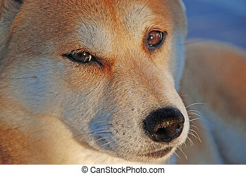 Shiba Inu Dog - Cute look from a cute Shiba Inu dog One of...