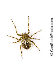 Garden Spider - Araneus Diadematus on the white background
