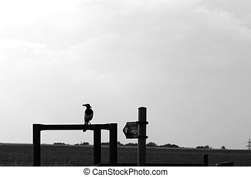 Magpie - The magpie is a large, black and white bird with a...