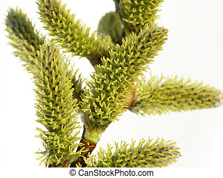 catkin bud - Perspective shot of spring catkin bud on tree...