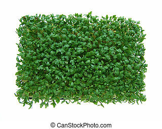 fresh green cress - Close-up of fresh green delicate cress...