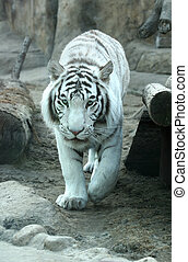 White tiger - A white tiger at Moscow zoo in Russia. Indian...