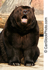 Brown bear with an open mouth