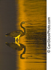 Golden tricolored