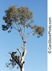 A large tree is being cut down by a man suspended ropes He...