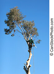 A large tree is being cut down by a man suspended ropes
