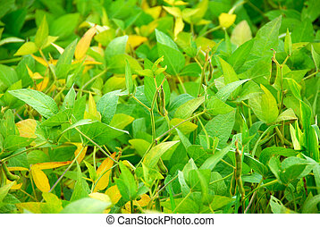 Soybeans - Soy beans growing on a soybean plant in a farm...