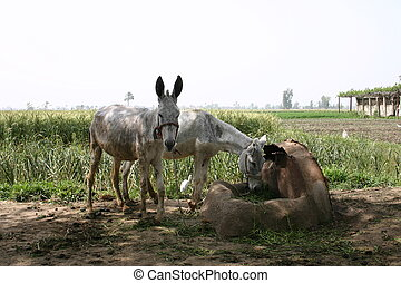 2 Donkeys & Egret - 2 Donkeys & Cattle Egret