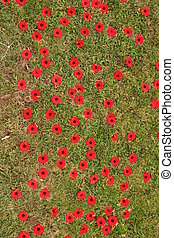 remembrance poppies - Memorial poppies on grass, Remembrance...