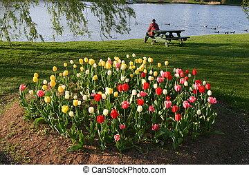 Tulips circle garden - Circular Tulip garden, spring...