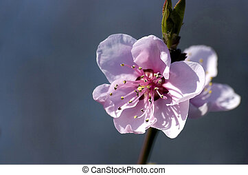 spring blossom - spring, blossom on blue sky background