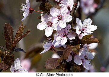 spring blossom on branch - spring, blossom on dark...