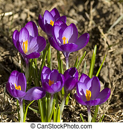 Spring Flowers - First flowers that mark the begining of...