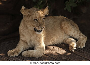 Lion cub lying in the shade