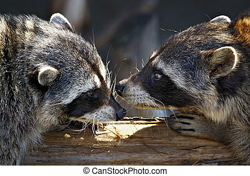 Love marriage games of raccoons-young animals in  spring