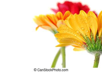 Gerbera flowers - Several colorful gerbera flowers with dew...