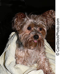 Bath Time - Yorkie Puppy after a bath