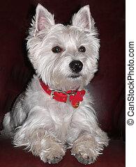 Franklins Portrait - West Highland Terrier Sitting...