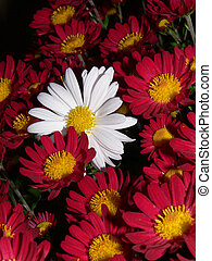 Background of Mums - Flower background photo