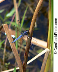 Bright Blue Dragonfly - Close-Up of a Bright Blue Dragonfly